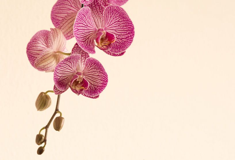 Knoppen in de orchidee van J..M de Jong-Jansen