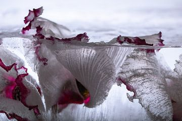 Cyclamen in ijs 3 van Marc Heiligenstein