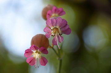roze schoonheid van jan katuin