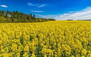 Rapsanbaugebiet mit schönen gelben Blüten im Frühling von Alex Winter