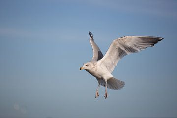 Mittelmeermöwe im Flug von Salke Hartung