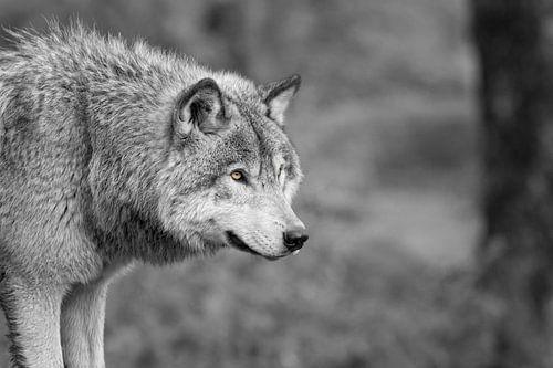 """Loup gris """" noir et blanc """""""