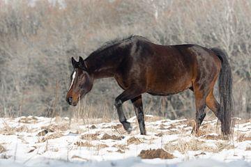Veluwe, planken wambuis-wild paard 05  von Cilia Brandts
