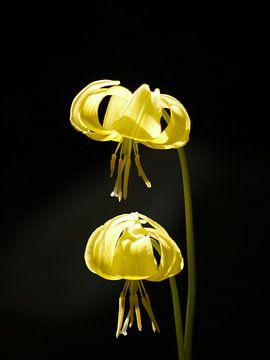 Gelbe Lilie (Blume) von Laura Pickert