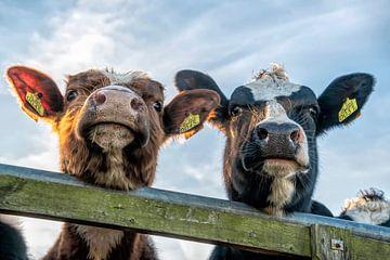 Nieuwsgierige koeien aan het hek koeienneus van Yvonne van Driel