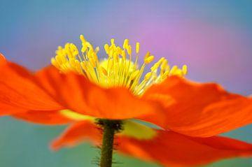 fleur de pavot sur Violetta Honkisz