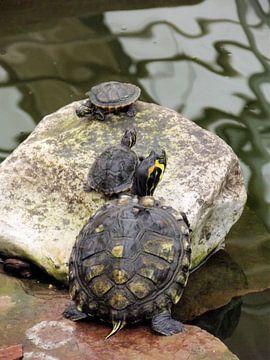 Schildpadden lopen naar het water. van Il se