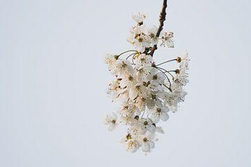 Weißer Blütenzweig von Clazien Boot