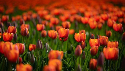 Oranje Tulpen van Alex Hiemstra