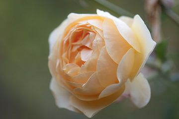 geel oranje roos van Tania Perneel