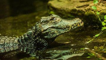 Krokodil 4 von Dirk Herdramm