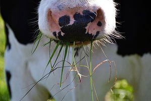 Koe eet gras van The Dragonfly