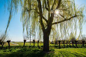 Treurwilg in het Voorjaar met de zon erdoor.