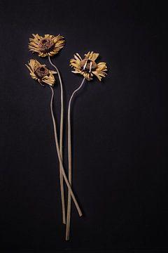 Komposition aus 3 getrockneten Gerberas auf Schwarz. von Karel Ham