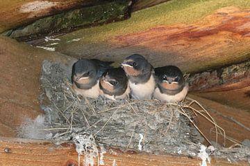 Nest met Boerenzwaluw jongen van Wierd Koops
