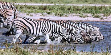 Trinkende Zebras, Etosha Nationalpark in Namibia
