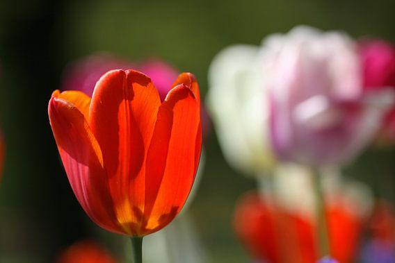 Tulpen in de Keukenhof (10) van Antwan Janssen