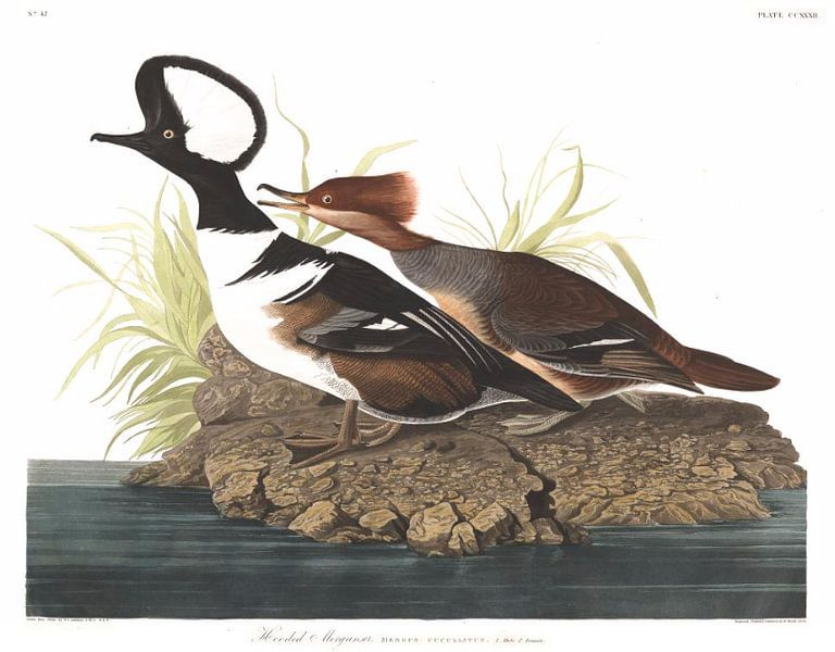Kokardezaagbek van Birds of America