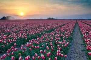 bloeiende rode tulpen tijdens de zonsondergang van