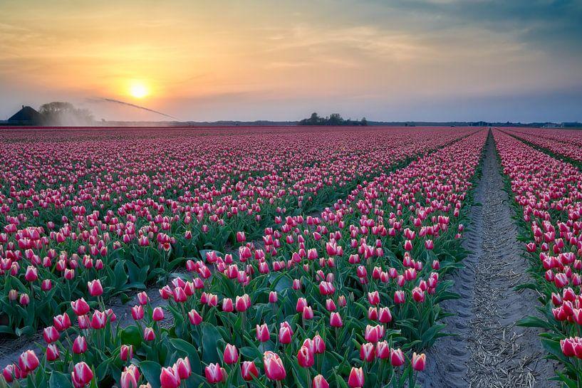 bloeiende rode tulpen tijdens de zonsondergang van eric van der eijk