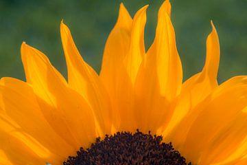 Sonnenblume von Zo jij! Fotografie