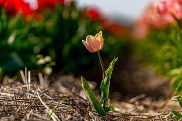 Les tulipes à Texel - Lonely