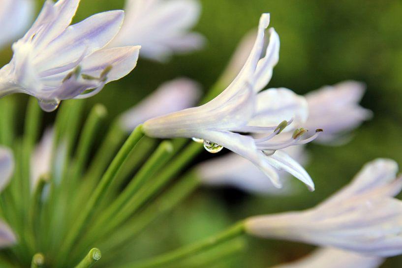 The White Flower van Cornelis (Cees) Cornelissen