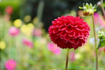 Prachtige Rode Ranonkel bloem in Christchurch - Nieuw Zeeland van Maurits Simons