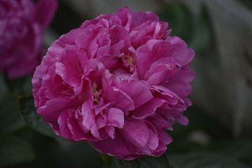 Pink Rose von Jeffry van Kalsbeek