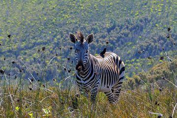 Zuid-Afrikaanse poserende zebra sur Mylène Amoureus