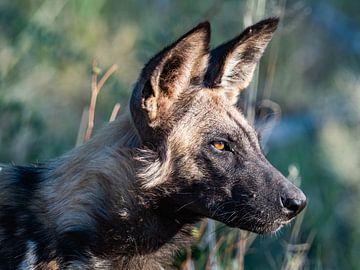 chien sauvage sur Marc Van den Broeck