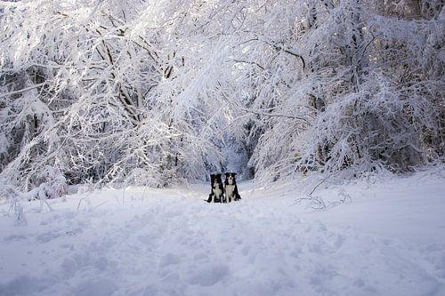 Border collies poseren bij besneeuwde bomen