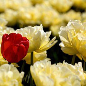 een rode tulp tussen gele tulpen van W J Kok