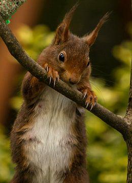 Moeder eekhoorn op zoek naar eten. van Wouter Van der Zwan