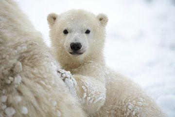 Jonge ijsbeer bij haar moeder von Martijn Wilbers