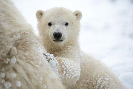 Jonge ijsbeer bij haar moeder