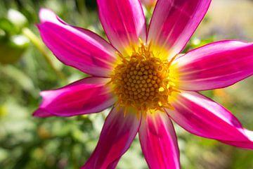 Prachtige roze bloem van Daniëlle van der meule