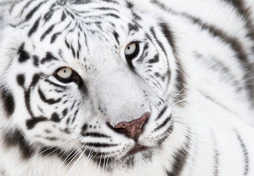 Weiße Tiger Von Marcel Van Balken