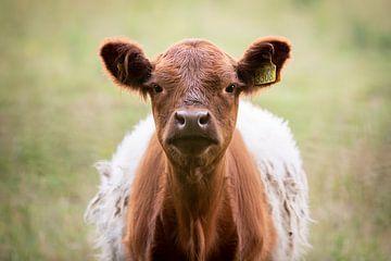 Hi! Jonge nieuwsgierige bruine Belted Galloway koe (soort Lakenvelder) rund (Schots) van KB Design & Photography (Karen Brouwer)