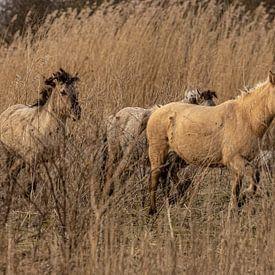 Konikpaarden van Koos de Vries
