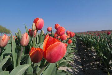 tulpen in een rij van Angelique Rademakers