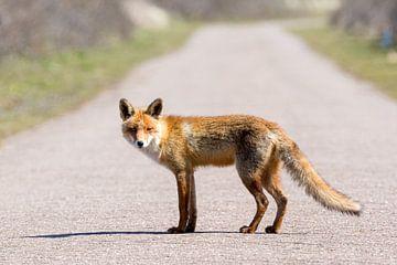 ein Fuchs mitten auf der Straße von Marc Goldman