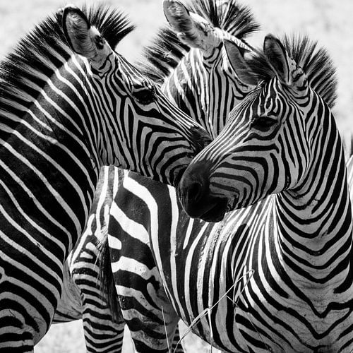Zebra's black/white  van