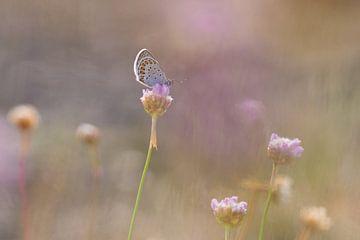 heideblauwtje in roze zachtheid van Francois Debets