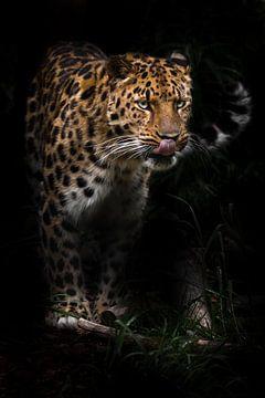 leckt sich die Lippen in der Dunkelheit Afrikanisches Raubtier halb aufgedrehte Pfoten Schwanz halb  von Michael Semenov