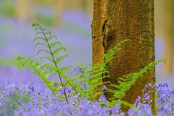 Hyacinten bos met beukenbomen in het voorjaar van Sjoerd van der Wal