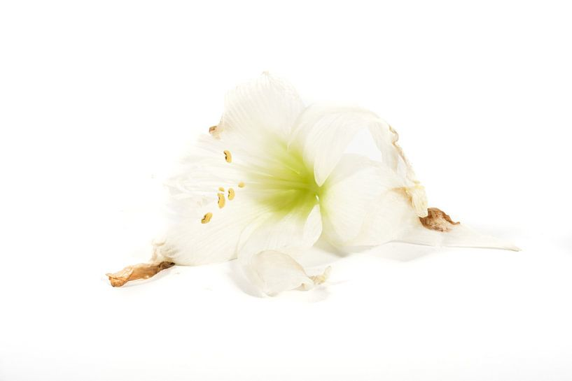 Amaryllisbloem van Joke Beers-Blom