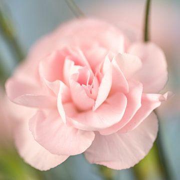 Nahaufnahme einer hellrosa Nelkenblüte von Dafne Vos