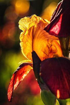 Iris von Rob Boon