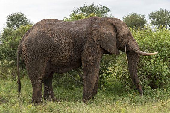 wild animal in kruger national parc
